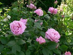 'Mrs. John Laing ' Rose Photo