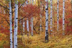 Autumn Birches of the Rocky Mountains - Fototapeter