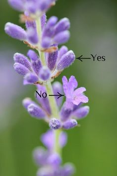 When to harvest Lavender simplified in this photo...