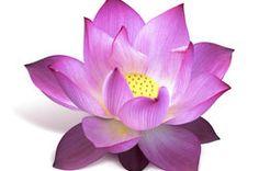 Lotusblüte Bedeutungen.
