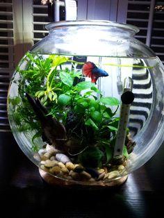 Planted betta bowl Filtered and heated Betta Aquarium, Home Aquarium, Planted Aquarium, Indoor Water Garden, Indoor Plants, Betta Fish Bowl, Water Terrarium, Cool Fish Tanks, Betta Fish Tank