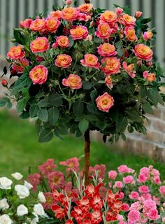 Red Rose Tree <3 I would like a few of these. They look like the Rainbow Sunblaze Rose Tree.