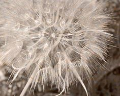 Dandelion Flower, Sepia Photography Gift For Women Wife Soft Beige and Blue Powder Room Bathroom Decor Bedroom Decor Fine Art Nature Photo
