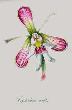 IL·LUSTRACIÈNCIA: Epidendrum arnoldii  - Constanza Rodríguez Althviz...