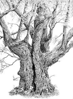 Linden (Tilia) in pen and ink Tree Trunk Drawing, Twisted Tree, Old Trees, Pen Sketch, Tree Roots, Ink Pen Drawings, Tree Art, Famous Artists, Art Projects