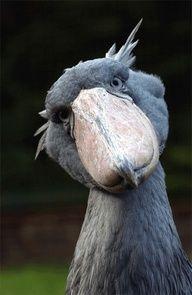shoebill stork - Google Search