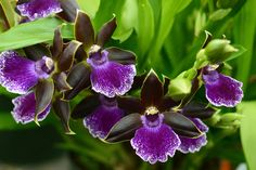 Rare Black Orchid   Home » All Photographs » Black & White » Black & White Gallery