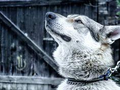 Ares Czechoslovakian Wolfdog