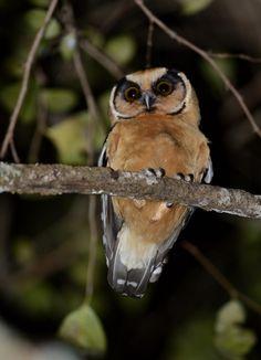 Foto caburé-acanelado (Aegolius harrisii) por Jonatas Rocha | Wiki Aves - A Enciclopédia das Aves do Brasil