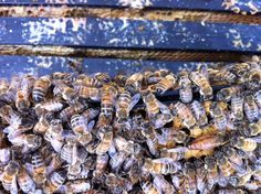 #HOTELS #SWD #GREEN2STAY The Listel Hotel Vancouver   Thanks to Brian of @RaintownBees for sharing this pic of the powerhouse queen and her attendants in the most active (& sometimes feisty) of the colonies in our rooftop garden.
