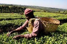 tea plenty