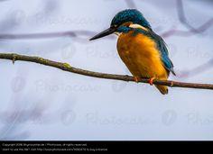 Foto 'Eisvogel schaut nach links' von 'Skymountain.de'