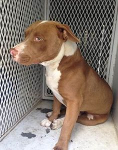 ***SUPER SUPER URGENT!!!*** - PLEASE SAVE TYSON!! - EU DATE: 7/28/2015 -- Tyson (06252015m-D03) Breed:American Staffordshire Terrier (mix breed) Age: Young adult Gender: Male Size: Large Special needs: hasShots, Shelter Information: Delano Animal Shelter 1525 Mettler Avenue Delano, CA Shelter dog ID: 06252015M-D03 Contacts: Phone: 661-721-3377 Name: Delano Animal Control email: SHELTER661@GMAIL.COM Read more at http://www.dogsindanger.com/dog/1435355187165#3PSVw5qfgWXTV6t3.99