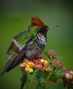 Foto topetinho-vermelho (Lophornis magnificus) por Aisse Gaertner | Wiki Aves - A Enciclopédia das Aves do Brasil