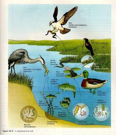 This is another example of a wetland food web. Environmental Education, Science Education, Science Activities, Ks2 Science, Science Posters, Science Ideas, Physical Science, Science Classroom, Science Experiments