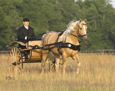 Show Horse Gallery - Ivory Pal - Tennessee Walking Horse