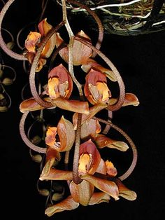 Andy's Orchids - Orchid Species - Acropera (Gongora) - galeata Exotic Flowers, Amazing Flowers, Pretty Flowers, Trinidad, Rare Species, Special Flowers, Orchidaceae, Wild Orchid, Planting Flowers