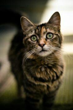 Bramblecloud  Dark brown tabby she-cat w/light green eyes