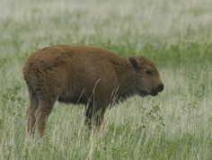 Buffalo calves are born red in color, The young calves begin to change in color at the age of two months old. The red color slowly begins to turn brown and by the age of four months old they are entirely brown in color .