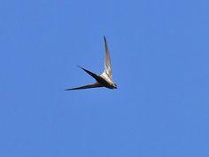 African Palm-Swift (Cypsiurus parvus) | Flickr - Photo Sharing!