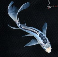Slighted different types of fish paintings and charts for Real blue koi fish