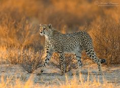 Cheetah at sunrise.