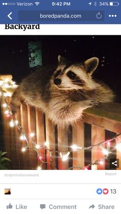 Adorable Animals & Amazing Pets Inspiration Pictures raccoon hanging out All Gods Creatures, Cute Creatures, Beautiful Creatures, Animals Beautiful, Animals Amazing, Animals And Pets, Baby Animals, Funny Animals, Cute Animals