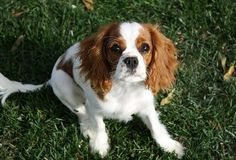 """""""Hi, I'm Jasper! I am a handsome, eight month old Cavalier King Charles Spaniel. I love long walks, performing my tricks, and cuddling. I am a socialite in my Avalon community and adore every ounce of attention I get. I should win this competition because my adorable looks and well rounded personality brighten everyone's day that I come in contact with."""""""