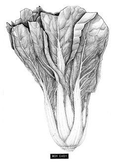 Bokchoy drawing / Fading vitamins - by www.carlijnclaire.com #kitchenart #foodart #vegetabledrawing #foodillustration #pencil