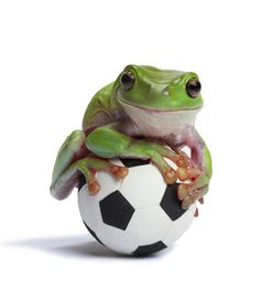Whites Tree Frog On Small Football::: Brookyln would hate this! Funny Frogs, Cute Frogs, Dumpy Tree Frog, Whites Tree Frog, Frog House, Frog Design, Use E Abuse, Play Soccer, Soccer Ball