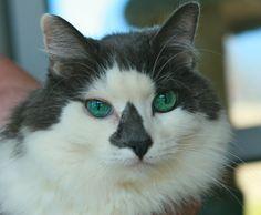 Petfinder  Adoptable   Cat   Domestic Long Hair - gray and white   Coronado, CA   Baby