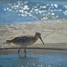 Sand Piper  -- YESSSSSS ! My little birds !!! I walk with them on The Cape in the sun, in the wind, in the fog, in the rain...just love them.