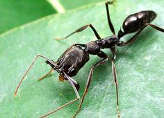 Odontomachus bauri - trap-jaw ant
