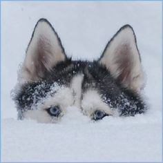 Happy Siberian Husky in the snow. Gorgeous capture!! Pic by M. Benjamin.