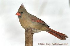 Virginia State Bird - Northern Cardinal