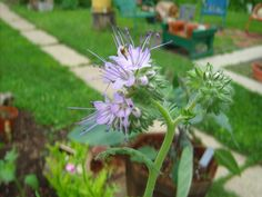 Purple Tansy Fiddleneck Phacelia-It's not blue and I like it!  Would love to have it.