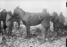 British troops scraping mud from a mule near Bernafay Wood on the Western Front. British military authorities tried to ensure that handlers of their animals cared for them properly. 1916-11