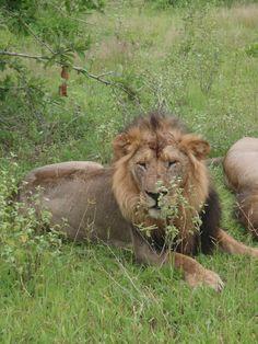 Lion relaxing in Ruaha National Park, Tanzania