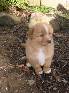 Nova Scotia Duck Tolling Retriever. Too cute.