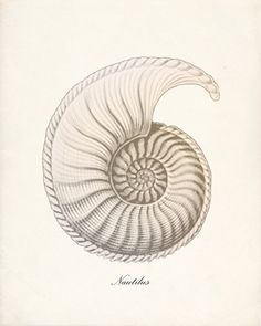 Nautilus Shell - Forms in Nature Wall Decor Print No. Life Symbol, Symbols Of Life, Cool Ideas, Nautilus Shell, Ammonite, Sleeve Tattoos, Wrist Tattoos, Sacred Geometry, Tattoo Inspiration