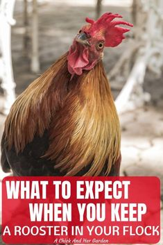 Keep a rooster in your flock of chickens can be like Russian Roulette! You never know exactly what you'll get! But here are some great facts to consider when deciding whether or not to keep a rooster with your flock of chickens! Best Egg Laying Chickens, Raising Backyard Chickens, Keeping Chickens, Chickens And Roosters, Backyard Farming, Backyard Poultry, Chicken Facts, Chicken Feed, Diy Chicken Coop