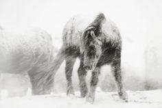 By Gigja Einarsdottir. #horses #snow
