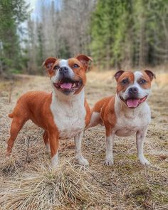 Stafford Bull Terrier, Staffordshire Bull Terrier, Bull Terriers, Animal Room, Bully Dog, Family Dogs, All Dogs, Dog Breeds, Pitbulls