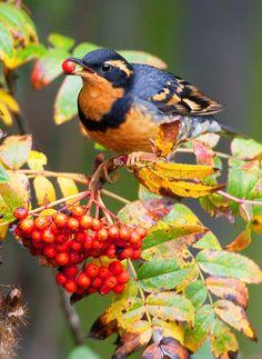 A Varied Thrush, Ixoreus naevius, feasts upon Sitka Mountain Ash berries.