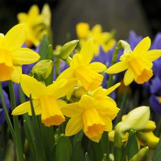 Clusters of up three deep golden-yellow flowers with slightly reflexed petals and deep yellow cups appear in March and April above the narrow, strap-shaped leaves. Garden Bulbs, Planting Bulbs, Garden Plants, Planting Flowers, Buy Plants, Flowers Garden, Daffodil Bulbs, Daffodil Flower, Daffodils