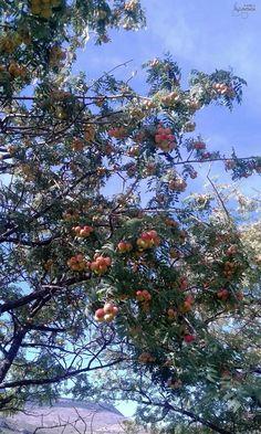 Azarollas, fruta silvestre de temporada #otoño #Mosqueruela