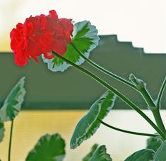 Overgrown Geraniums: Preventing And Correcting Leggy Geranium Plants - Many people wonder why their geraniums get leggy, especially if they keep them year after year. Find out the cause and what to do with leggy geraniums in this article. Pruning Geraniums, Overwintering Geraniums, Geraniums Garden, Garden Plants, House Plants, Pruning Plants, Potted Plants, Indoor Plants, Potted Geraniums