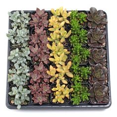 Large variety of succulent plants available: Sempervivum, Sedum, Soft & Hardy Succulents, Echeveria, and affordable Wholesale Succulent Plug Trays. Planting Succulents, Planting Flowers, Where To Buy Succulents, Succulent Potting Mix, Succulent Names, Wholesale Succulents, Sweet Sixteen Gifts, Jade Plants, Plant Cuttings