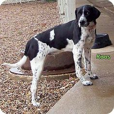 #IOWA #URGENT ~ Kaos ID A21611133 is a Neutered 2yo Pointer mix in need of a…