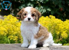 Gracie | Cavachon Puppy For Sale | Keystone Puppies Cavachon Puppies, Companion Dog, White Dogs, Real Beauty, Design Development, Puppies For Sale, Paw Patrol, Random Stuff, Animals